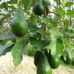 avocado-grafted-4682